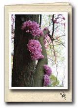 Cercis flowers